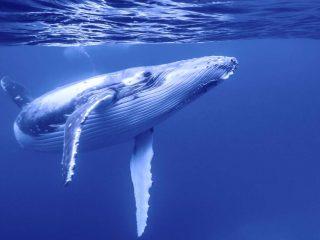 Balena sfondo desktop