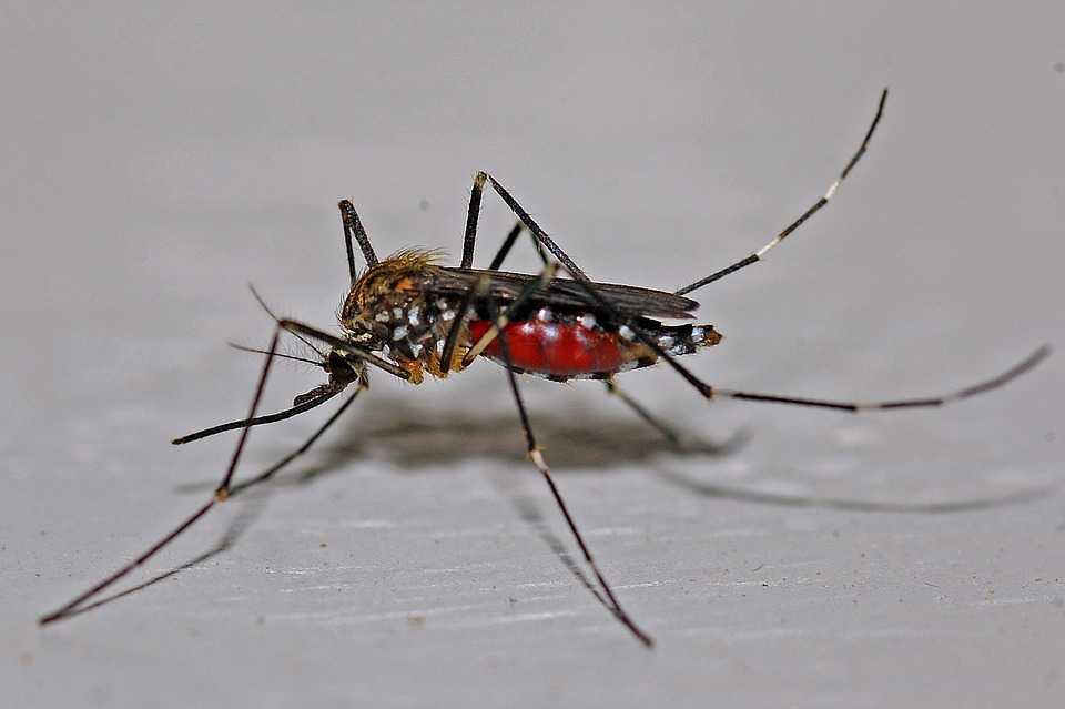 Zanzara sazia