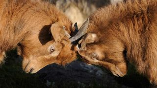 Scontro tra capre