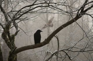Corvo sul ramo