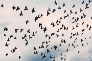 Stormo di corvi