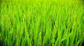 Grano ancora verde