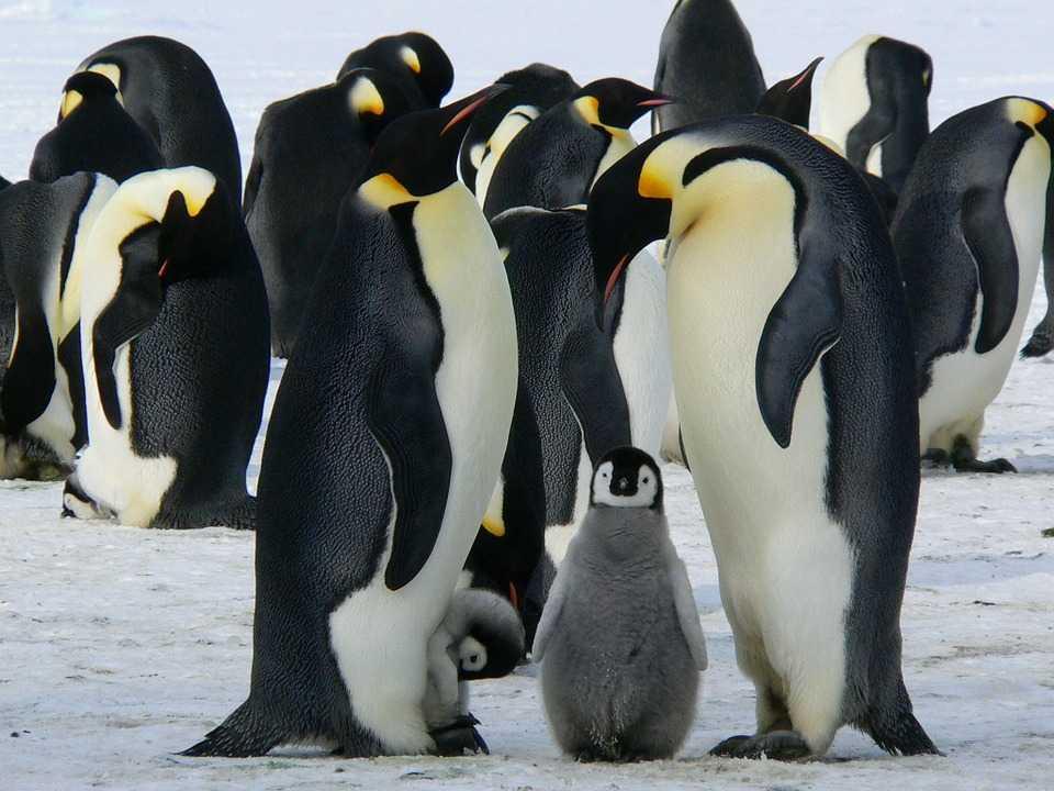 Pinguini con i pulcini